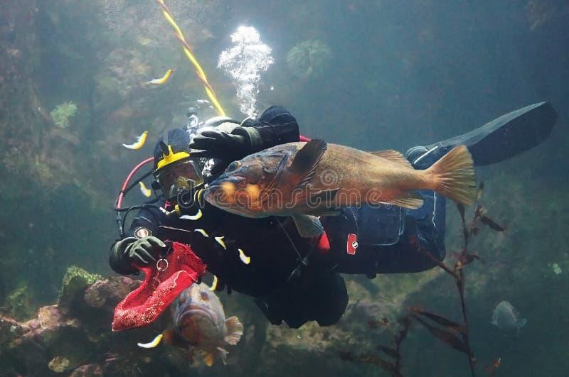 Dykare som matar fisken i ett stort akvarium royaltyfri bild