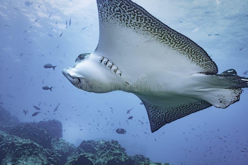 dykningörnmaldives stråle royaltyfri bild
