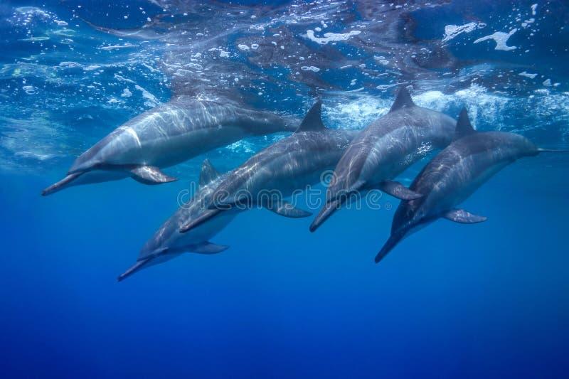 Dykningfröskida arkivfoto