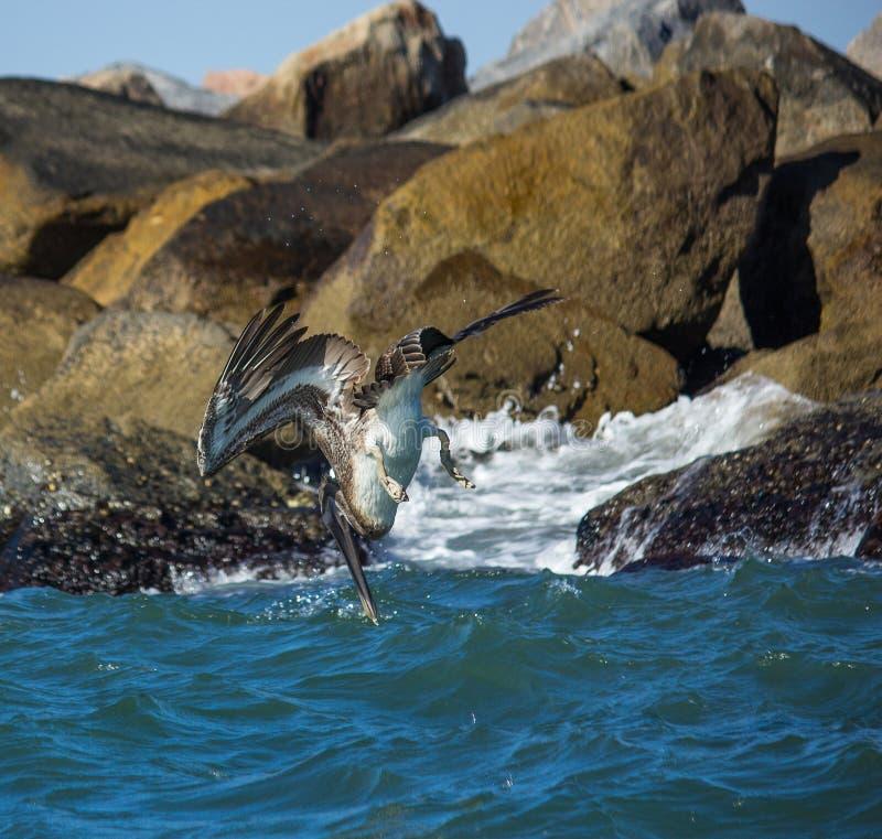 Dykningseagull arkivfoto