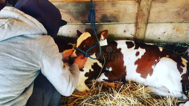 Dylan et une vache photos stock