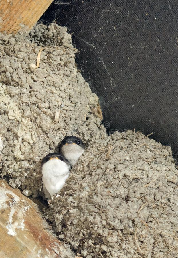 Dymówek kurczątka sterczy od gniazdeczka fotografia royalty free