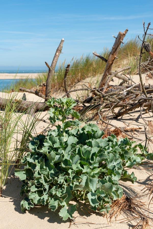 Dyn av Pilat, Arcachon fjärd, Frankrike: växten kallade panicaut av dyn royaltyfri fotografi