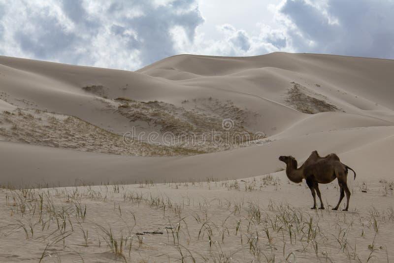 Dyn för sand för kamelCamelusbactrianus på horisont royaltyfria foton