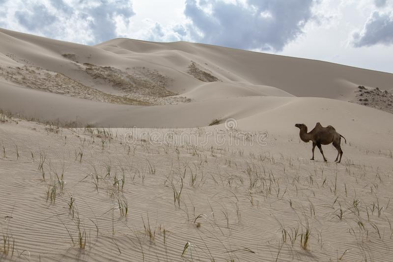Dyn för sand för kamelCamelusbactrianus på horisont royaltyfri foto