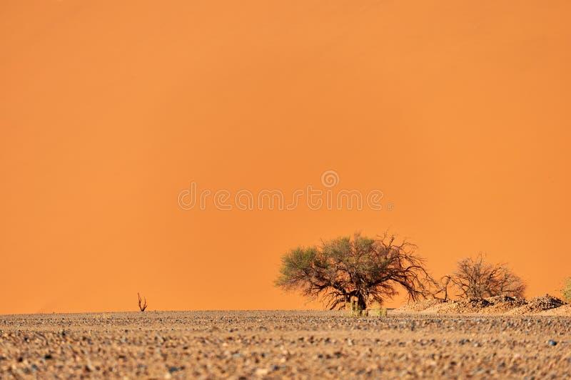 Dyn och träd för Namib öken arkivbild