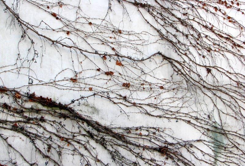 Wild grape brances silhouette lines on white wall royalty free stock photos