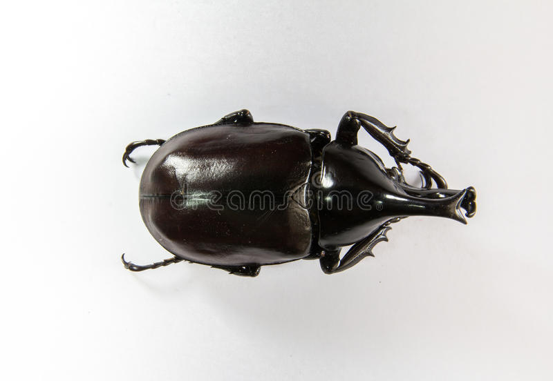 Dynastinae arkivfoton