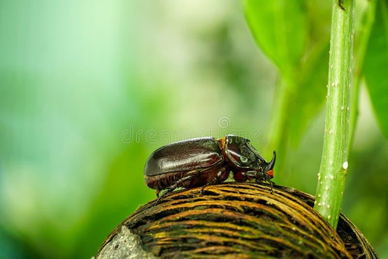Dynastinae ou coléoptère marchant sur les racines de l'arbre images stock