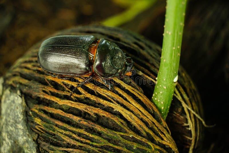 Dynastinae ou coléoptère marchant sur les racines de l'arbre photo libre de droits