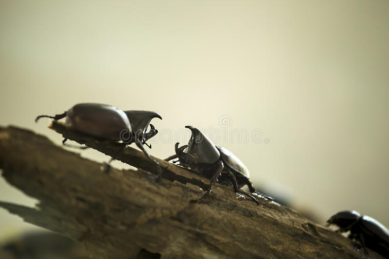 Dynastinae, scarabées de rhinocéros photos stock