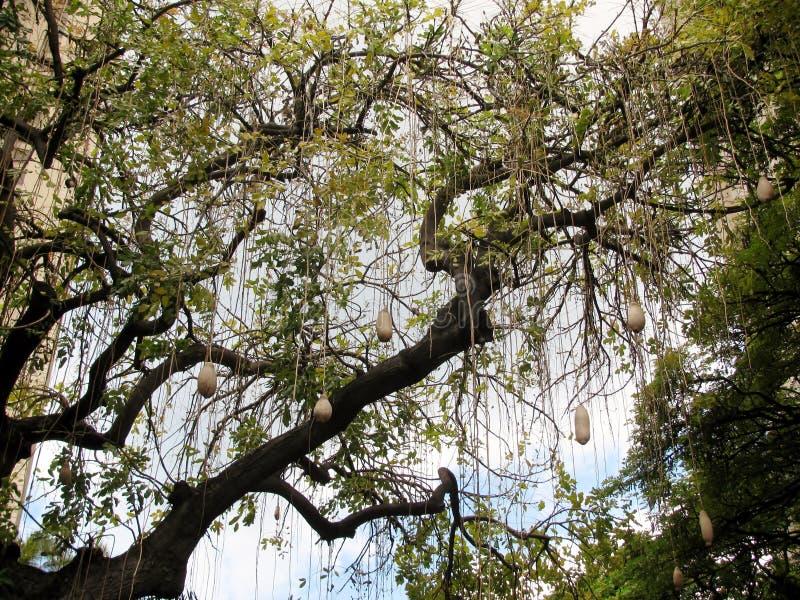 Dynda (kiełbasianego drzewa) owoc obraz stock
