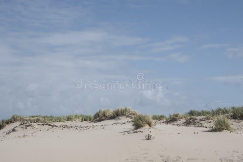 Dyngräs svänger i brisen under en blå himmel arkivfoto