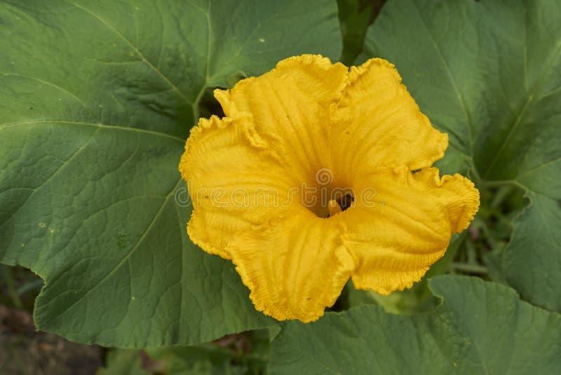 Dyniowi pomarańcze kwiaty obrazy royalty free