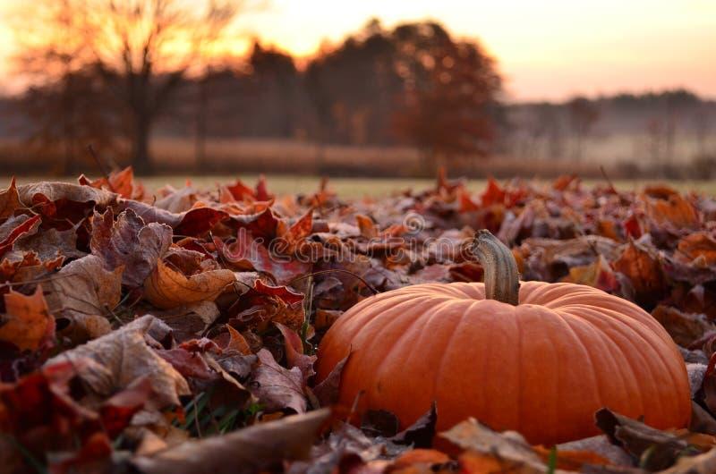 Dyniowy obsiadanie w mroźnych liściach przy świtem zdjęcie stock