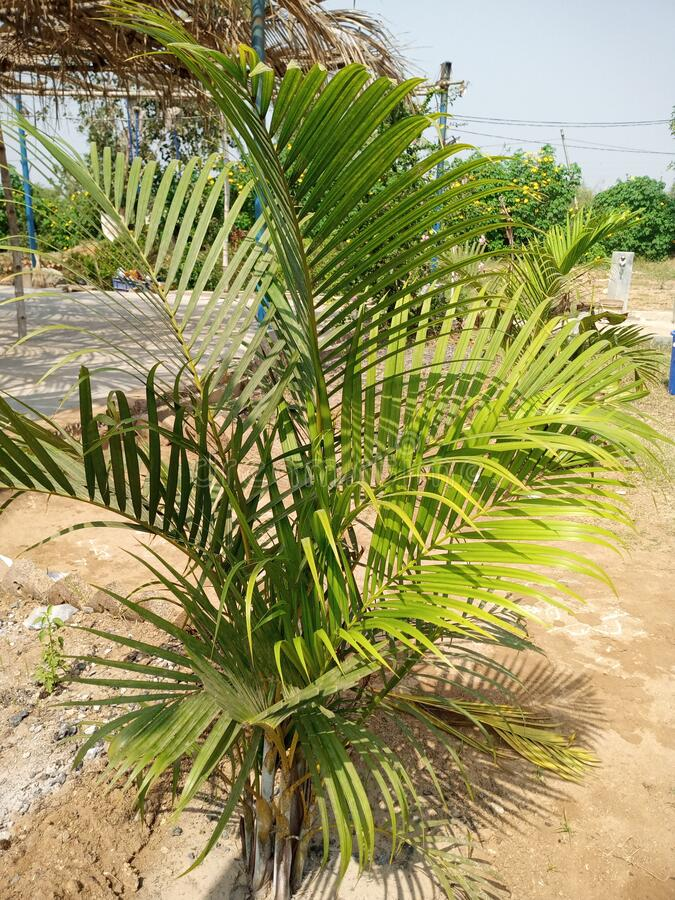 Free Dypsis Ambositrace Is An Elegant Royalty Free Stock Photo - 209264725