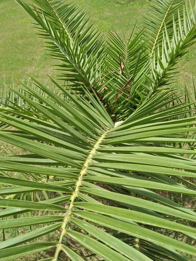 Dypsis lutescens obrazy stock