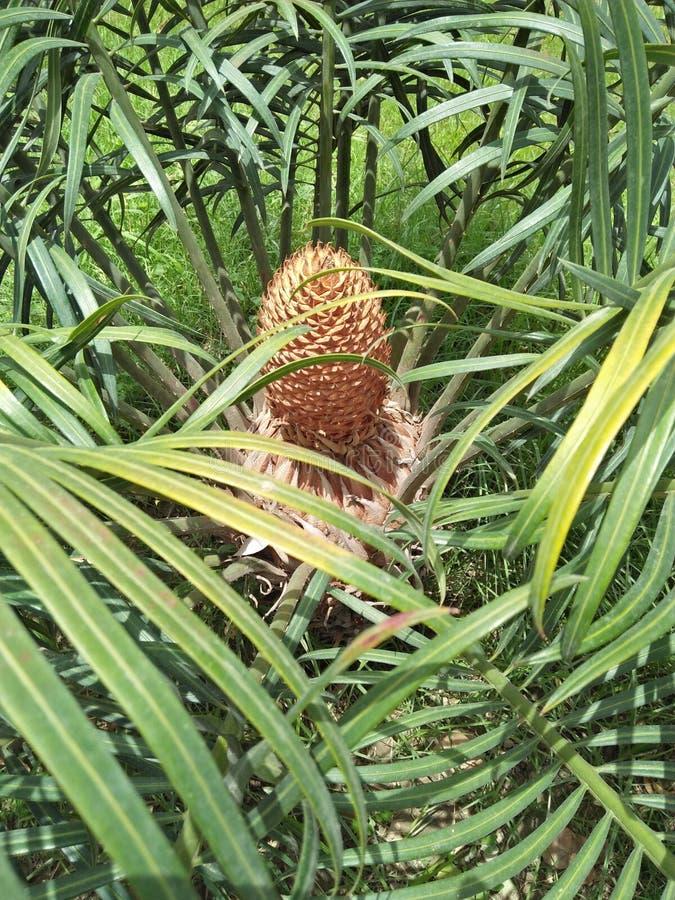 Dypsis lutescens zdjęcie stock