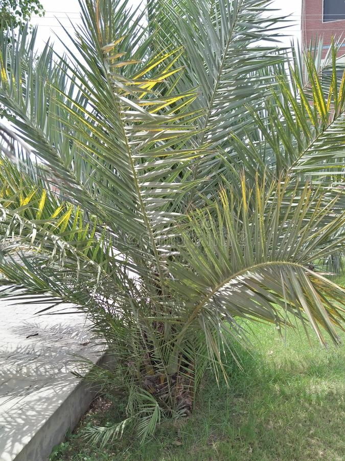 Dypsis lutescens arkivfoton