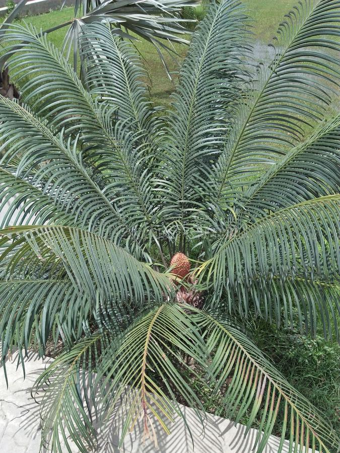 DYPSIS LUTESCENS. They thrive in pots &low light conditions ,with areca palm breathe easy ,because they filter and clean the air .They filter ,dry stale air & royalty free stock photos
