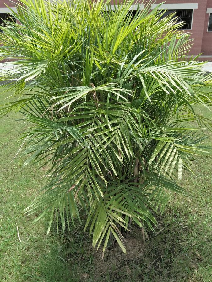 DYPSIS LUTESCENS. They thrive in pots &low light conditions ,with areca palm breathe easy ,because they filter and clean the air .They filter ,dry stale air & royalty free stock images