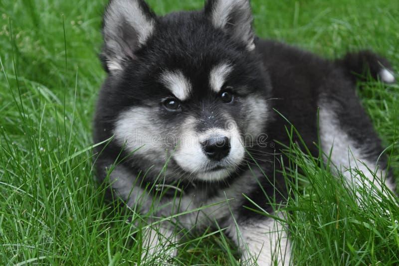 Dyrbar skrovlig slädehund som vilar i gräset arkivfoton