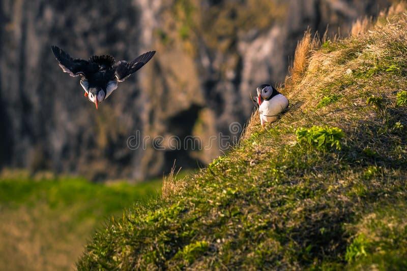 Dyrholaey - maj 2018: Dzikie Puffiny w Dyrholaey, Islandia obrazy royalty free