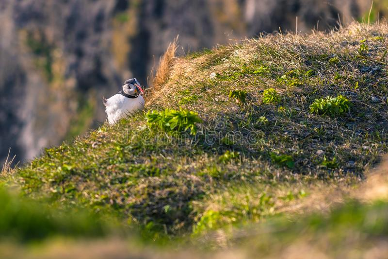 Dyrholaey - May 04, 2018: Wild Puffin bird in Dyrholaey, Iceland royalty free stock photos