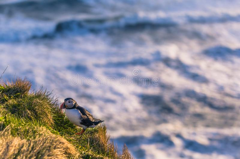 Dyrholaey - May 04, 2018: Wild Puffin bird in Dyrholaey, Iceland royalty free stock photography