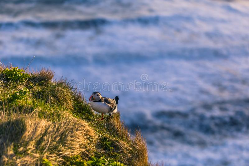 Dyrholaey - May 04, 2018: Wild Puffin bird in Dyrholaey, Iceland stock photos