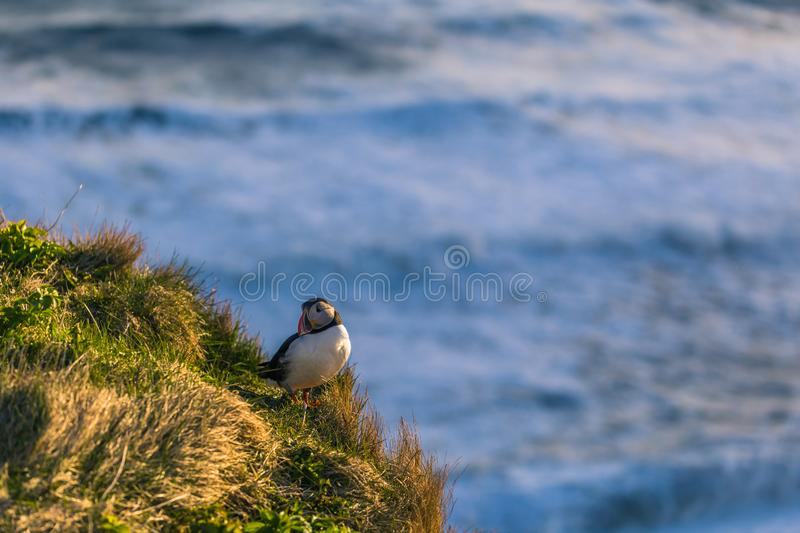 Dyrholaey - May 04, 2018: Wild Puffin bird in Dyrholaey, Iceland royalty free stock images