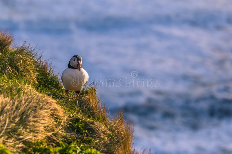 Dyrholaey - May 04, 2018: Wild Puffin bird in Dyrholaey, Iceland royalty free stock photo
