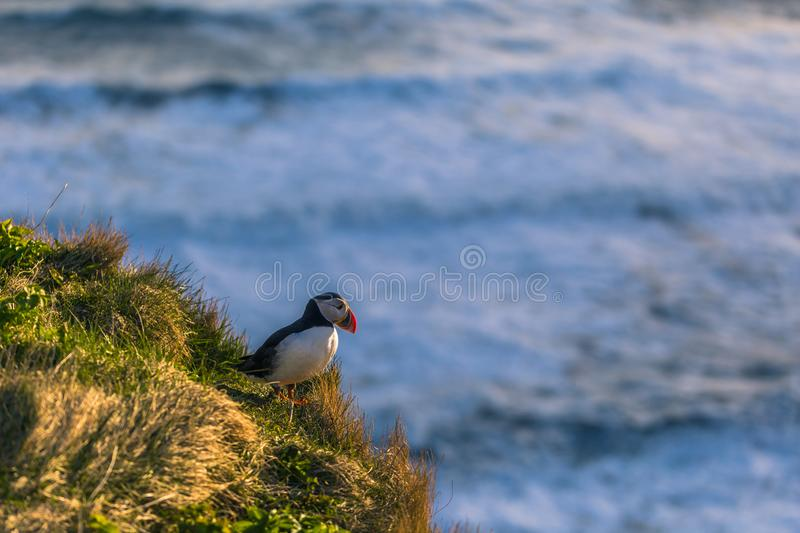 Dyrholaey - May 04, 2018: Wild Puffin bird in Dyrholaey, Iceland royalty free stock image