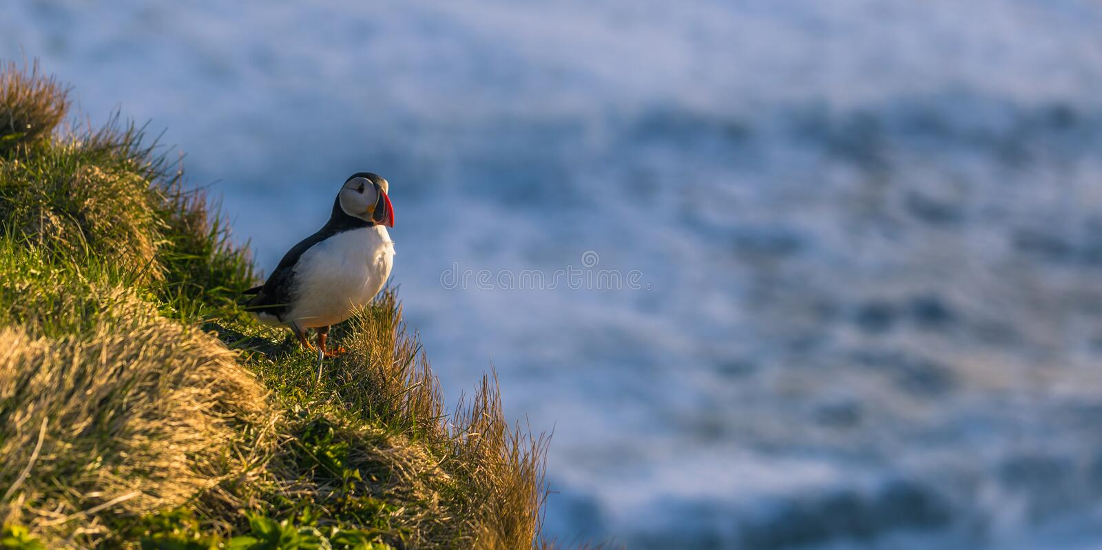 Dyrholaey - May 04, 2018: Wild Puffin bird in Dyrholaey, Iceland stock image