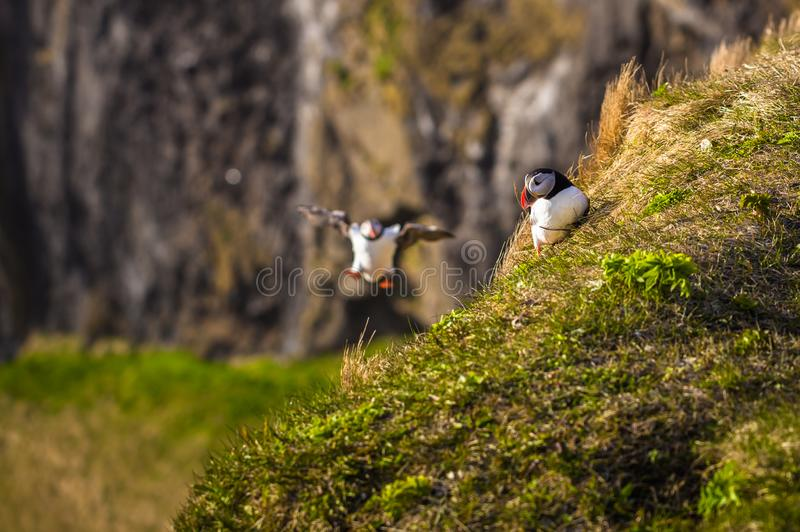 Dyrholaey - May 04, 2018: Wild Puffins in Dyrholaey, Iceland royalty free stock photo
