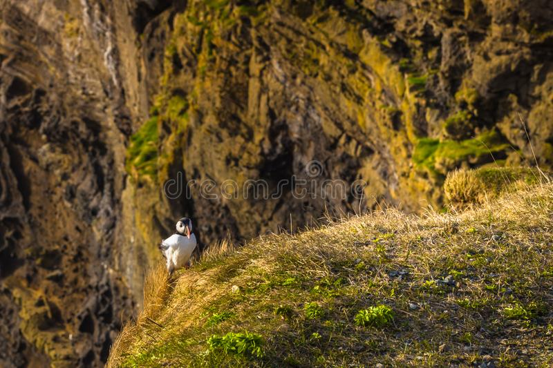 Dyrholaey - May 04, 2018: Wild Puffins in Dyrholaey, Iceland royalty free stock image