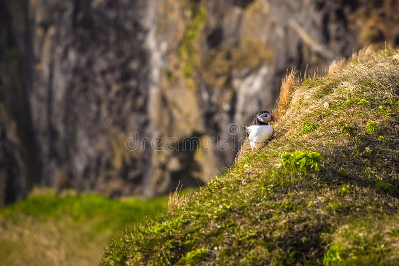 Dyrholaey - May 04, 2018: Wild Puffins in Dyrholaey, Iceland royalty free stock photos