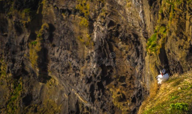Dyrholaey - May 04, 2018: Wild Puffins in Dyrholaey, Iceland royalty free stock images