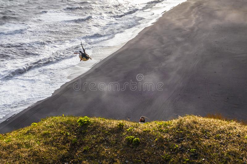 Dyrholaey - May 04, 2018: Wild Puffins in Dyrholaey, Iceland stock photography
