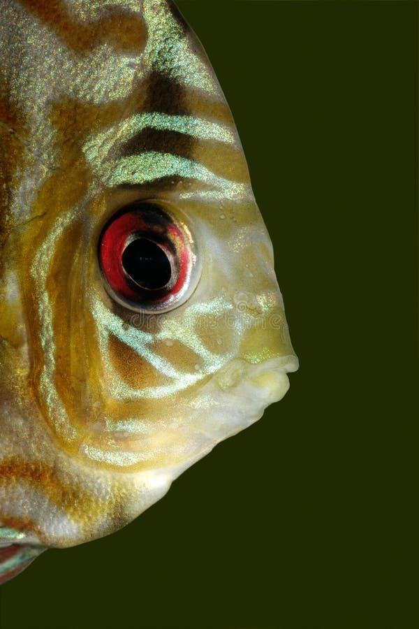 Dysk błękitny ryba obrazy royalty free