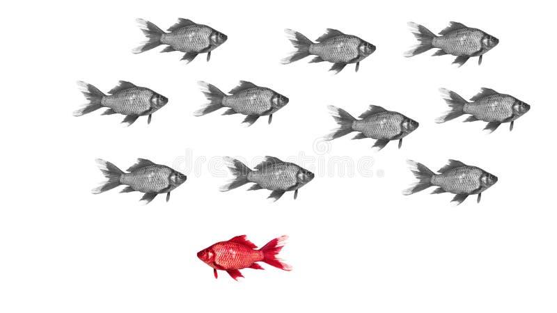 Dyskryminaci pojęcie - goldfish pływanie dyskryminuje różnej barwionej ryba zdjęcie stock