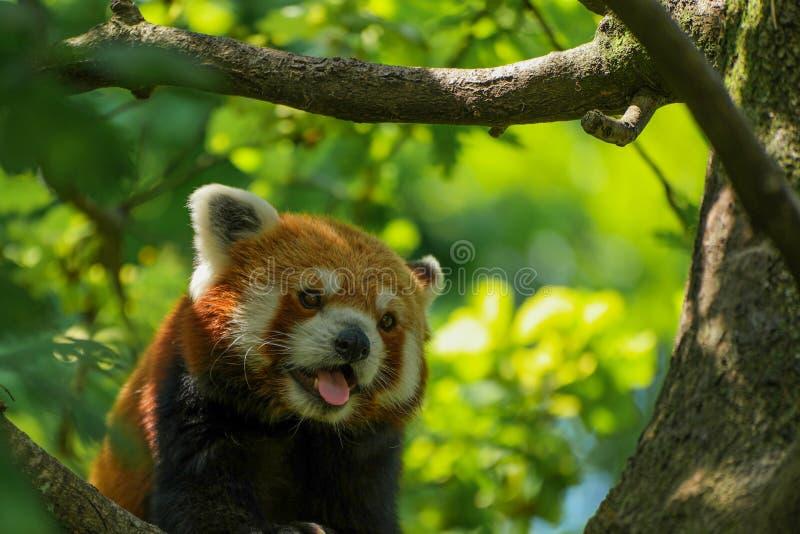 Dyszeć czerwonej pandy obrazy stock