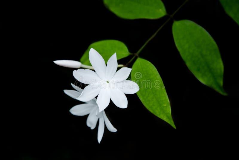 Dyszy drzewnego białego kwiatu zdjęcie royalty free