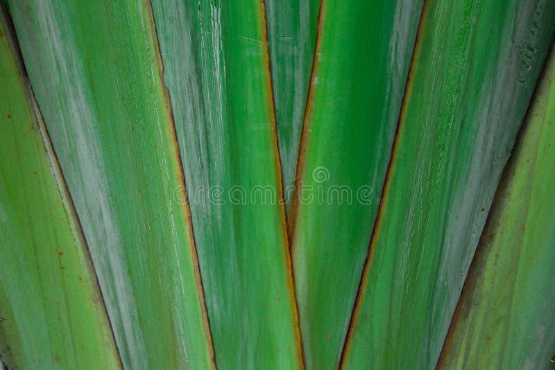 Dyszy drzewnego liść zdjęcie royalty free