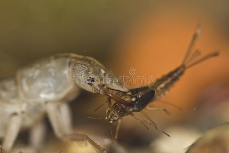 Dytiscus sp arkivfoton
