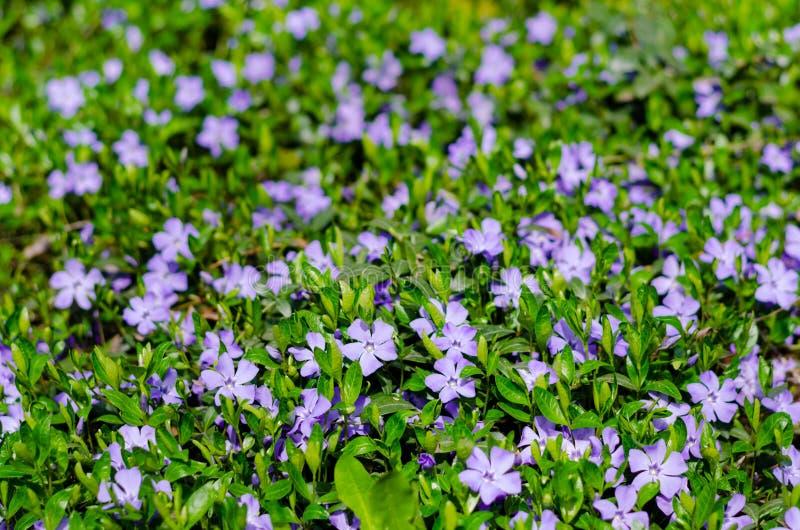 Dywan błękitny barwinek kwitnie w łące świeża trawa zdjęcie stock