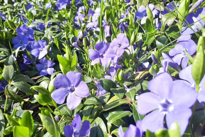 Dywan błękitny barwinek kwitnie w łące fotografia royalty free