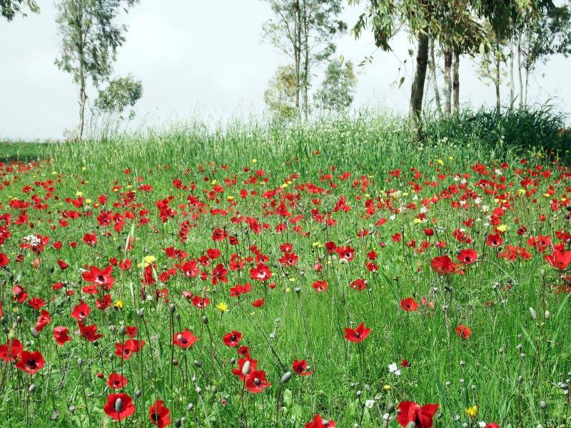 Dywan kwiatonośny animon zdjęcia stock