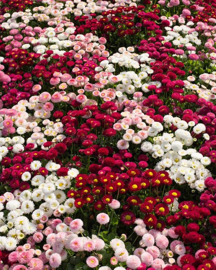 Dywan kwiatu Bellis perennis w ogródzie, Rufallo, Ravello, Włochy zdjęcie stock