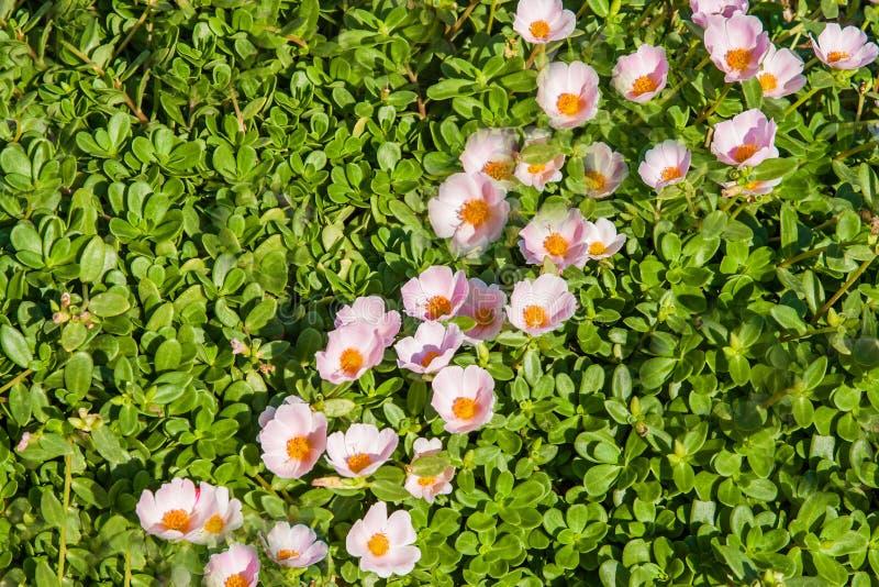 Dywan małe menchie kwitnie na trawie przy egipcjaninem obraz stock